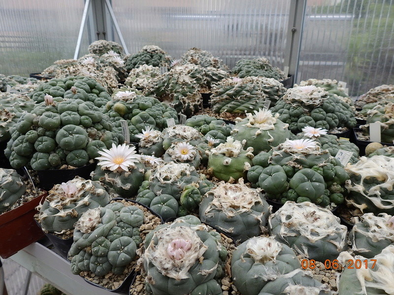 Cacti and Sukkulent in Köln, every day new flowers in the greenhouse Part 184 Bild1168