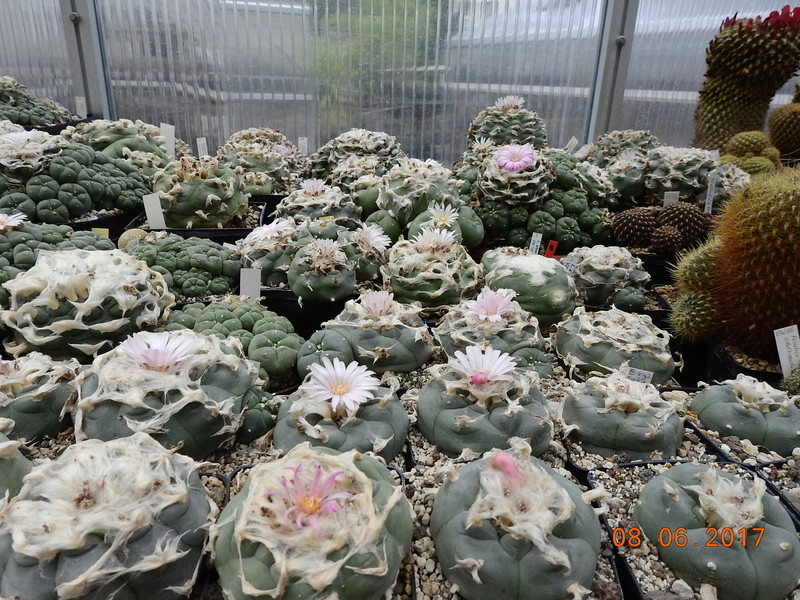 Cacti and Sukkulent in Köln, every day new flowers in the greenhouse Part 184 Bild1171