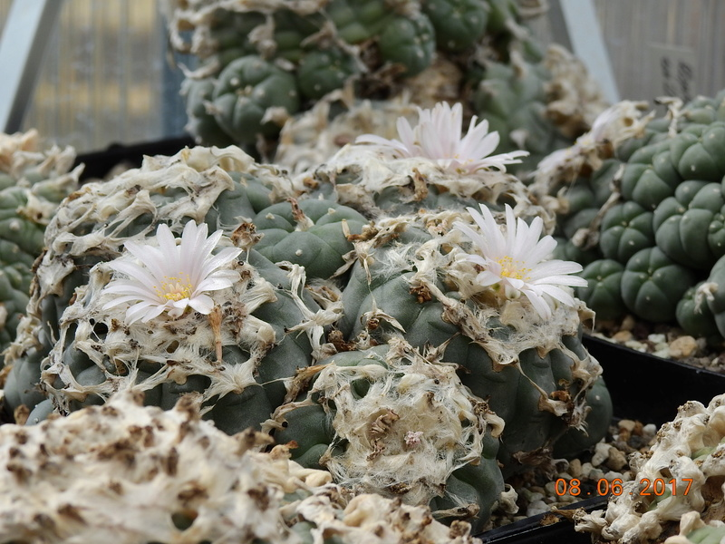 Cacti and Sukkulent in Köln, every day new flowers in the greenhouse Part 184 Bild1173
