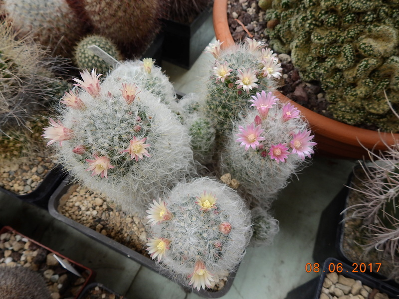 Cacti and Sukkulent in Köln, every day new flowers in the greenhouse Part 184 Bild1178