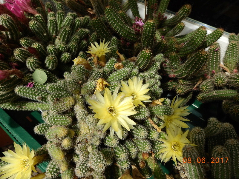 Cacti and Sukkulent in Köln, every day new flowers in the greenhouse Part 185 Bild1196