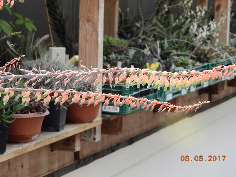 Cacti and Sukkulent in Köln, every day new flowers in the greenhouse Part 185 Bild1197