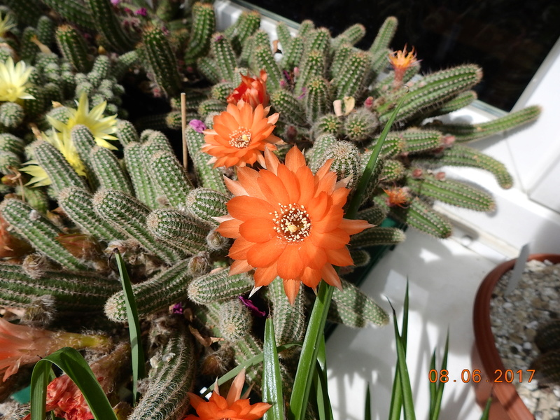 Cacti and Sukkulent in Köln, every day new flowers in the greenhouse Part 185 Bild1198