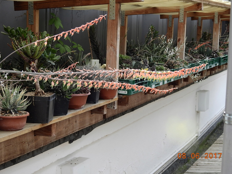 Cacti and Sukkulent in Köln, every day new flowers in the greenhouse Part 185 Bild1199