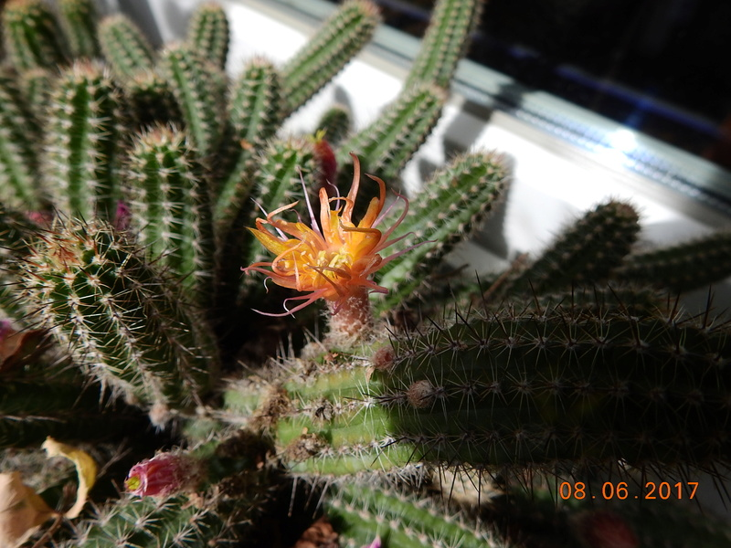Cacti and Sukkulent in Köln, every day new flowers in the greenhouse Part 185 Bild1201