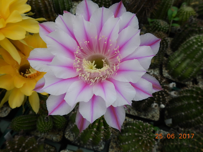 Cacti and Sukkulent in Köln, every day new flowers in the greenhouse Part 185 Bild1223