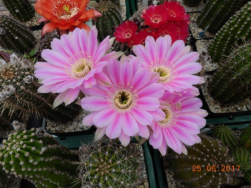 Cacti and Sukkulent in Köln, every day new flowers in the greenhouse Part 185 Bild1227