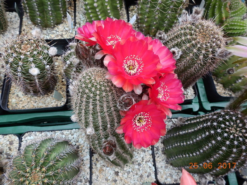 Cacti and Sukkulent in Köln, every day new flowers in the greenhouse Part 185 Bild1237