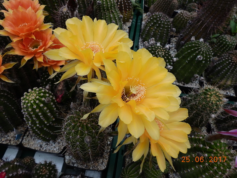 Cacti and Sukkulent in Köln, every day new flowers in the greenhouse Part 185 Bild1238
