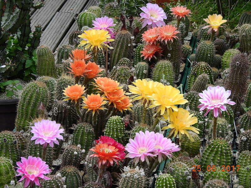 Cacti and Sukkulent in Köln, every day new flowers in the greenhouse Part 185 Bild1247