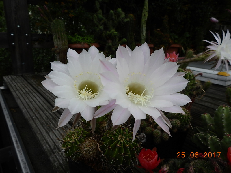 Cacti and Sukkulent in Köln, every day new flowers in the greenhouse Part 185 Bild1256