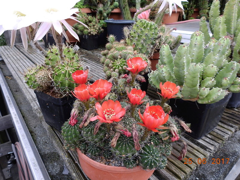 Cacti and Sukkulent in Köln, every day new flowers in the greenhouse Part 185 Bild1258