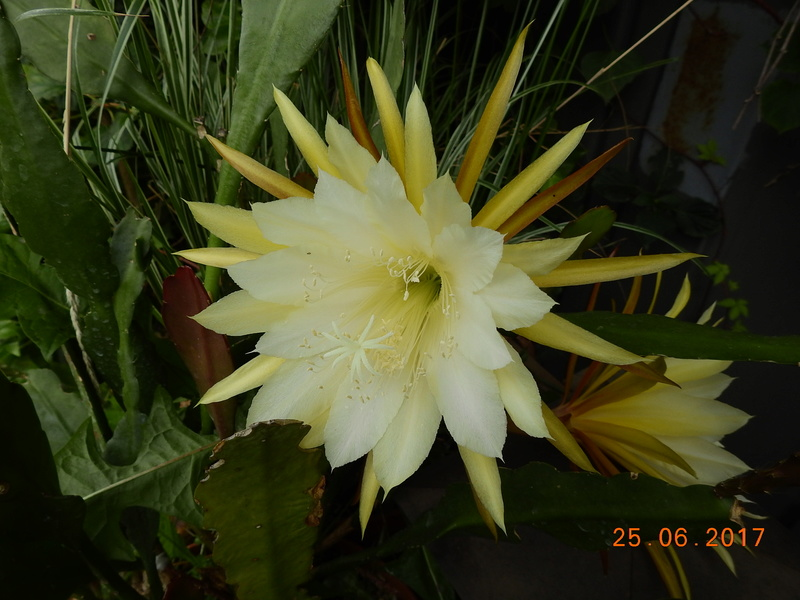 Cacti and Sukkulent in Köln, every day new flowers in the greenhouse Part 185 Bild1266