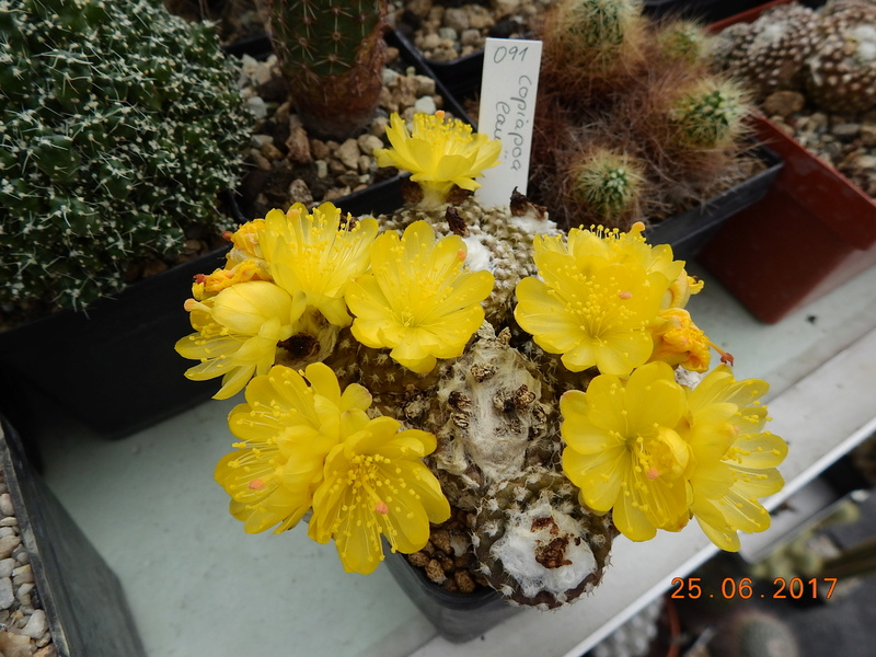 Cacti and Sukkulent in Köln, every day new flowers in the greenhouse Part 185 Bild1277
