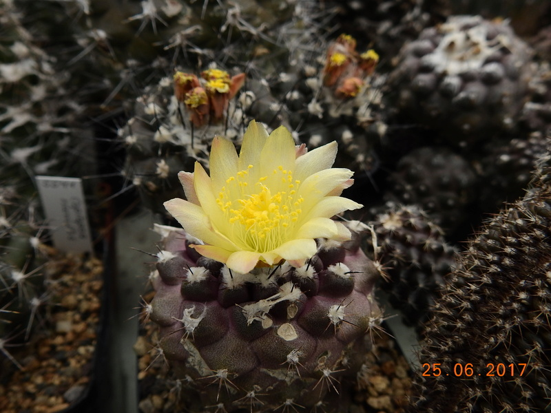 Cacti and Sukkulent in Köln, every day new flowers in the greenhouse Part 185 Bild1278