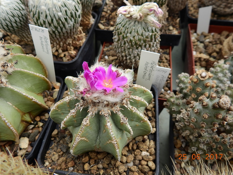 Cacti and Sukkulent in Köln, every day new flowers in the greenhouse Part 185 Bild1279