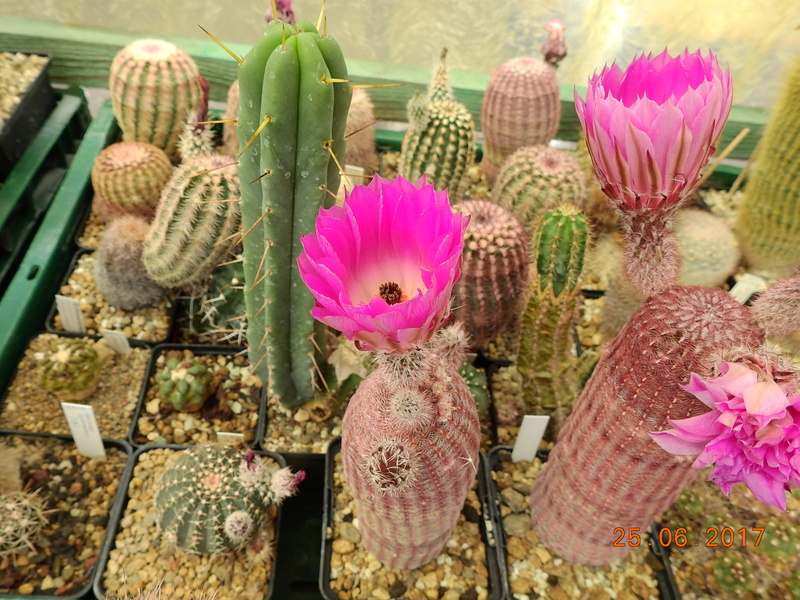Cacti and Sukkulent in Köln, every day new flowers in the greenhouse Part 185 Bild1288
