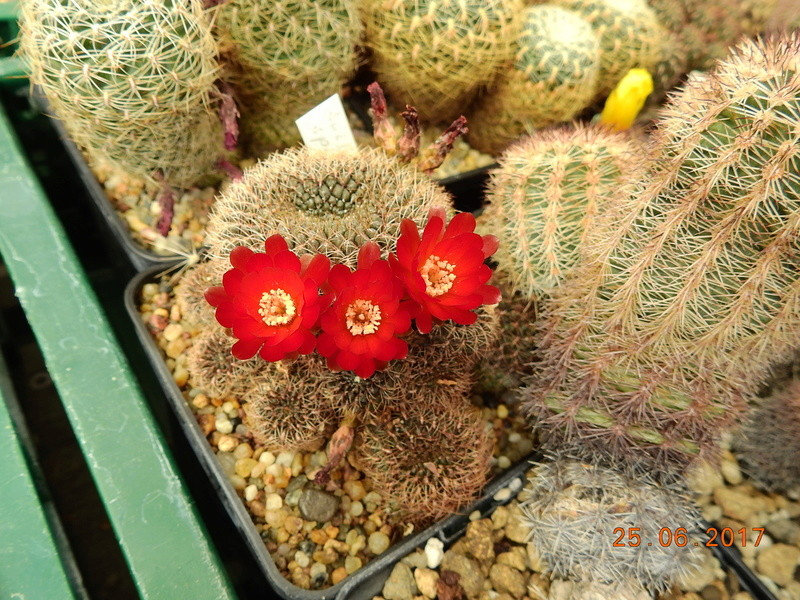 Cacti and Sukkulent in Köln, every day new flowers in the greenhouse Part 185 Bild1289