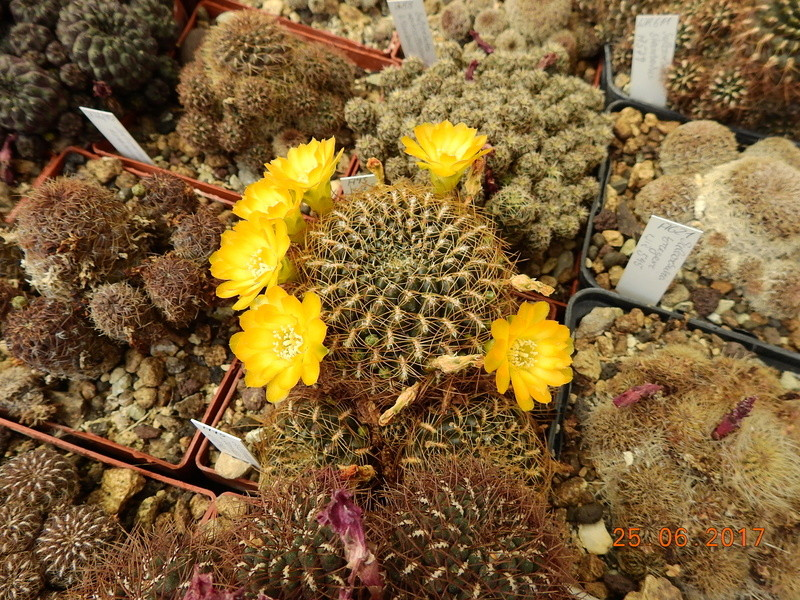 Cacti and Sukkulent in Köln, every day new flowers in the greenhouse Part 185 Bild1290
