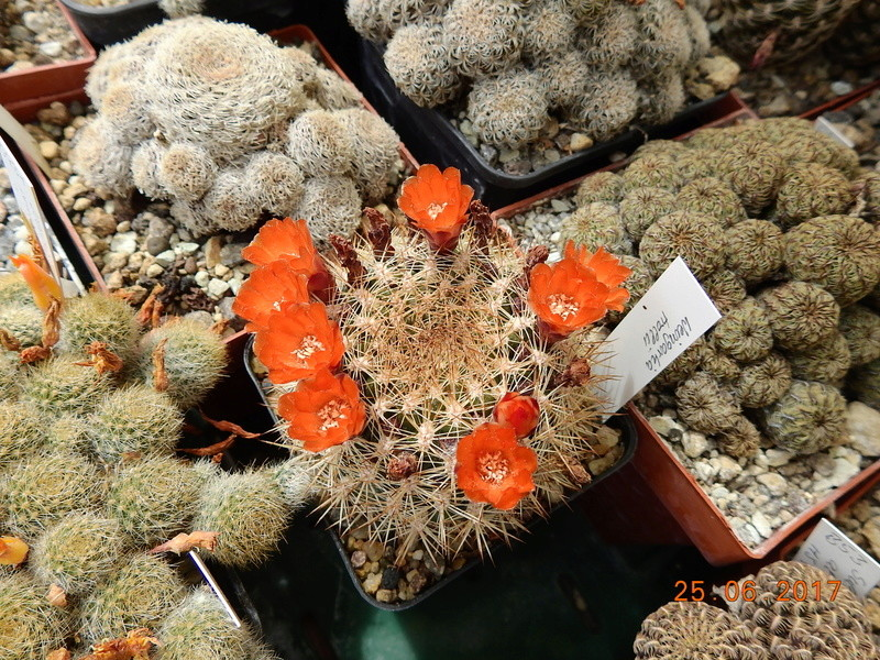 Cacti and Sukkulent in Köln, every day new flowers in the greenhouse Part 185 Bild1292