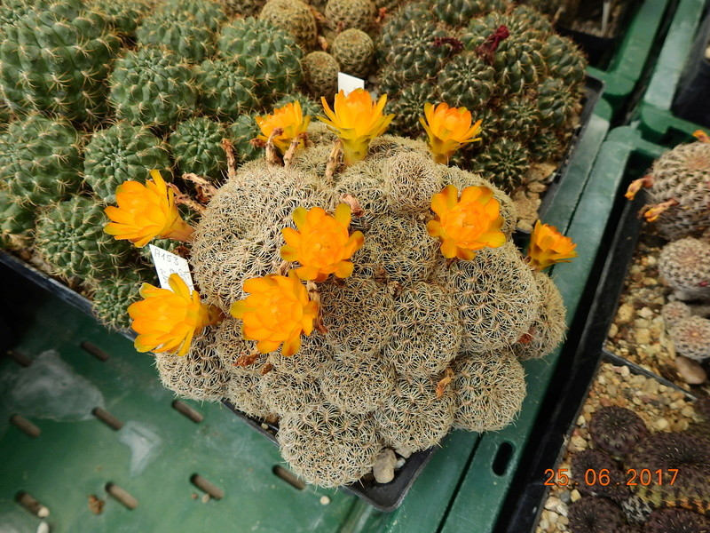 Cacti and Sukkulent in Köln, every day new flowers in the greenhouse Part 185 Bild1294