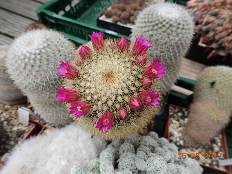 Cacti and Sukkulent in Köln, every day new flowers in the greenhouse Part 185 Bild1310