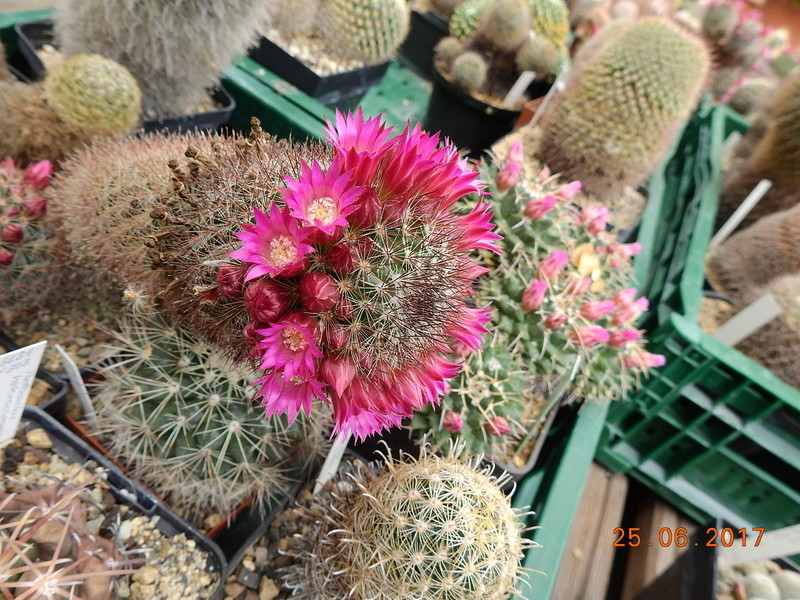 Cacti and Sukkulent in Köln, every day new flowers in the greenhouse Part 185 Bild1313