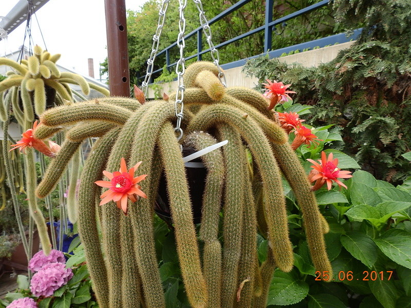 Cacti and Sukkulent in Köln, every day new flowers in the greenhouse Part 185 Bild1314