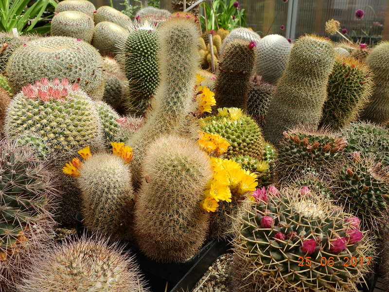 Cacti and Sukkulent in Köln, every day new flowers in the greenhouse Part 185 Bild1317