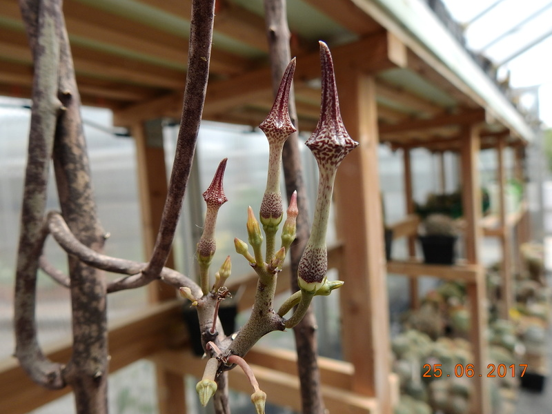 Cacti and Sukkulent in Köln, every day new flowers in the greenhouse Part 185 Bild1320