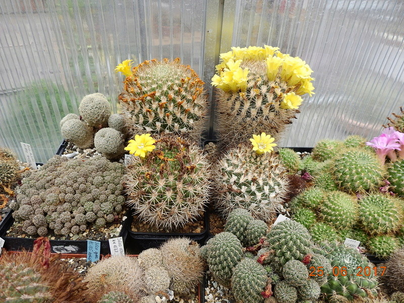 Cacti and Sukkulent in Köln, every day new flowers in the greenhouse Part 185 Bild1321
