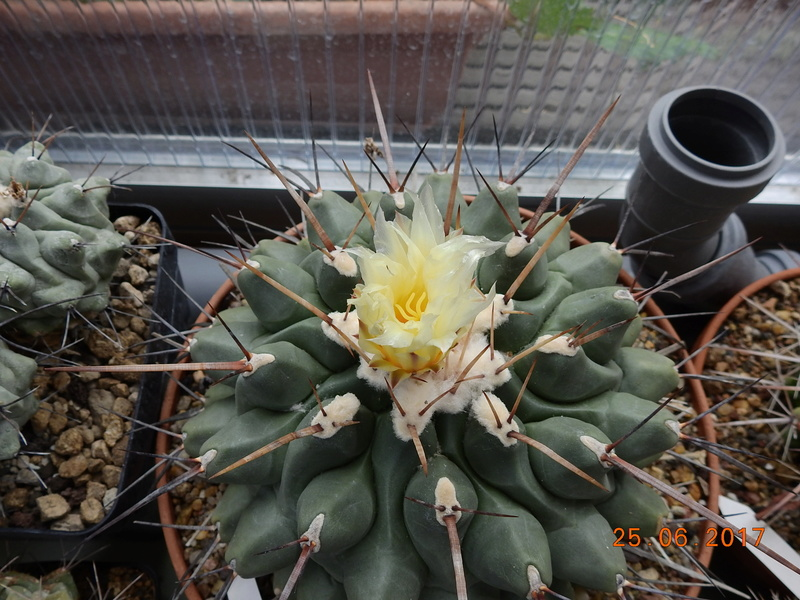 Cacti and Sukkulent in Köln, every day new flowers in the greenhouse Part 185 Bild1325