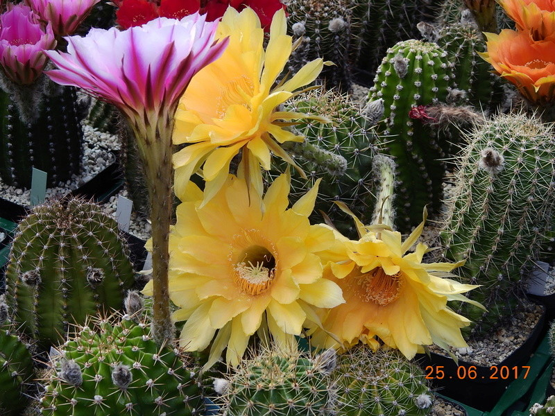 Cacti and Sukkulent in Köln, every day new flowers in the greenhouse Part 185 Bild1329