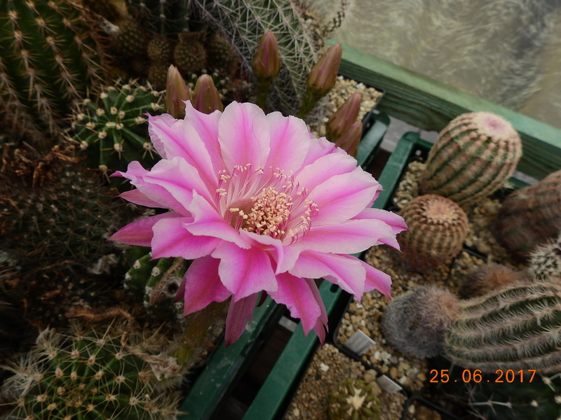 Cacti and Sukkulent in Köln, every day new flowers in the greenhouse Part 185 Bild1335