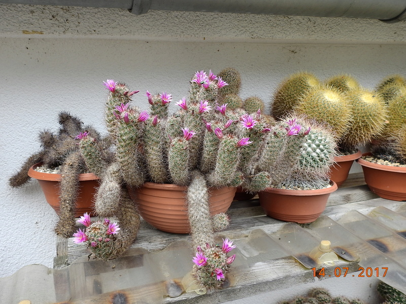 Cacti and Sukkulent in Köln, every day new flowers in the greenhouse Part 186 Bild1351