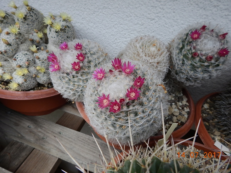 Cacti and Sukkulent in Köln, every day new flowers in the greenhouse Part 186 Bild1352