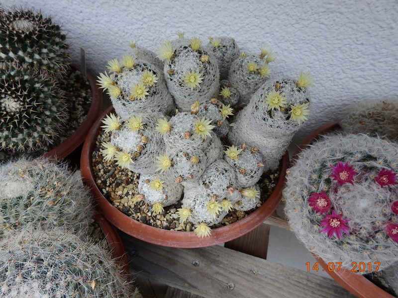 Cacti and Sukkulent in Köln, every day new flowers in the greenhouse Part 186 Bild1354
