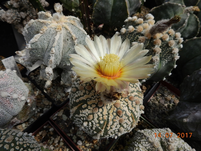 Cacti and Sukkulent in Köln, every day new flowers in the greenhouse Part 186 Bild1367