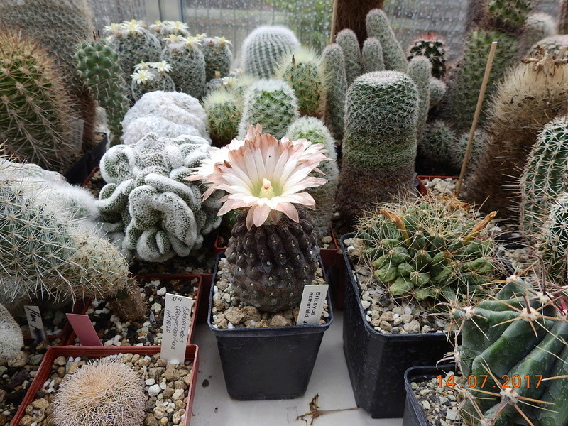 Cacti and Sukkulent in Köln, every day new flowers in the greenhouse Part 186 Bild1370
