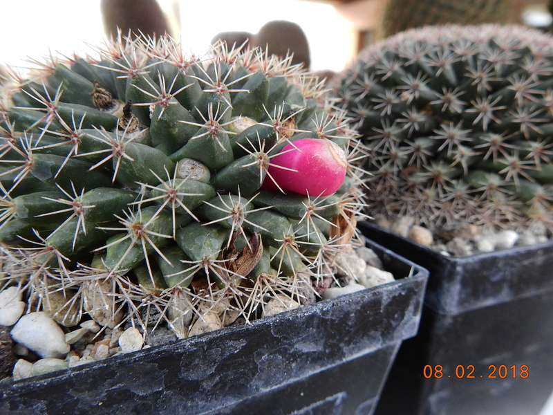 Cacti and Sukkulent in Köln, every day new flowers in the greenhouse Part 186 Bild1386