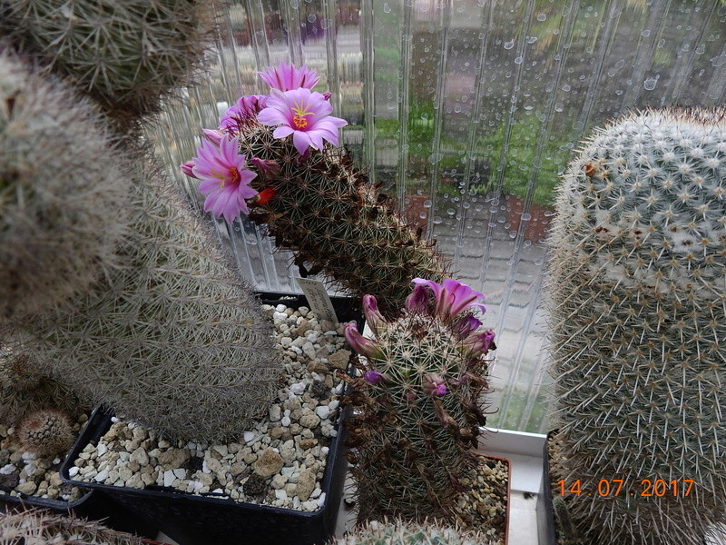 Cacti and Sukkulent in Köln, every day new flowers in the greenhouse Part 186 Bild1405