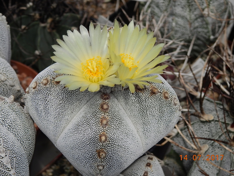 Cacti and Sukkulent in Köln, every day new flowers in the greenhouse Part 186 Bild1407