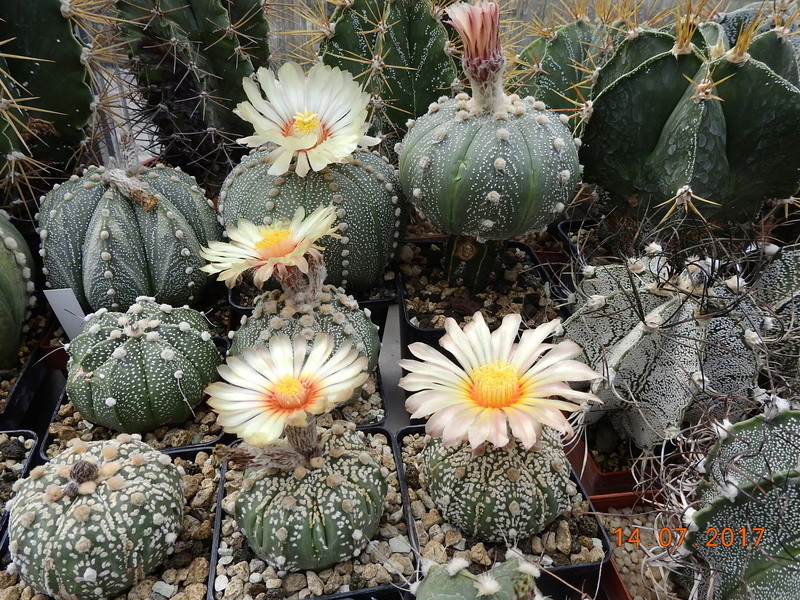 Cacti and Sukkulent in Köln, every day new flowers in the greenhouse Part 186 Bild1408