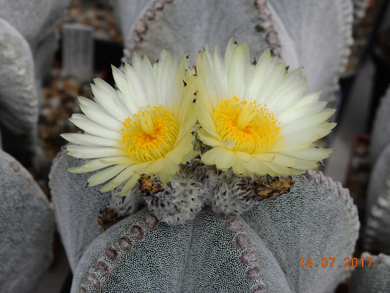 Cacti and Sukkulent in Köln, every day new flowers in the greenhouse Part 186 Bild1410
