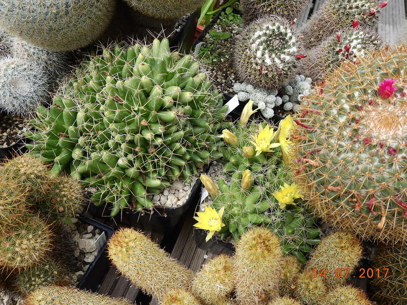 Cacti and Sukkulent in Köln, every day new flowers in the greenhouse Part 186 Bild1438