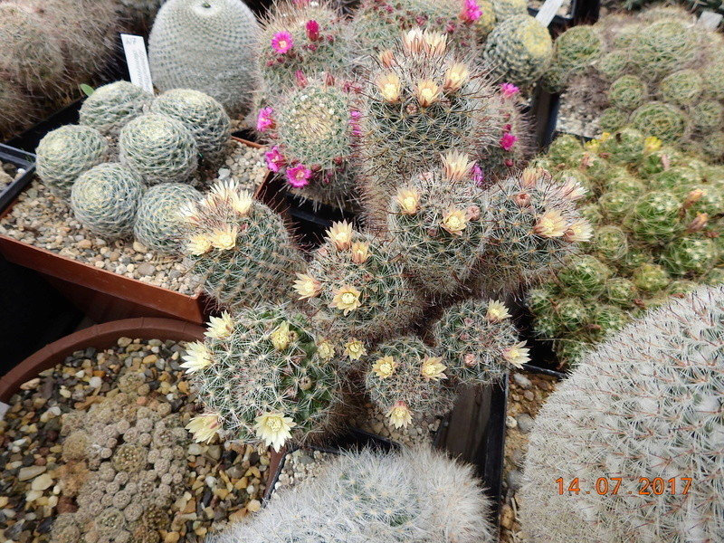 Cacti and Sukkulent in Köln, every day new flowers in the greenhouse Part 186 Bild1439