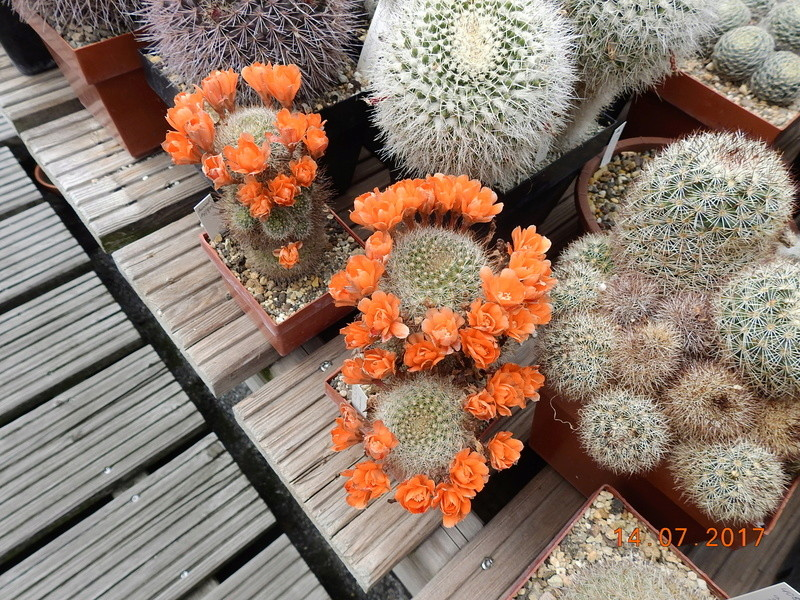 Cacti and Sukkulent in Köln, every day new flowers in the greenhouse Part 186 Bild1444
