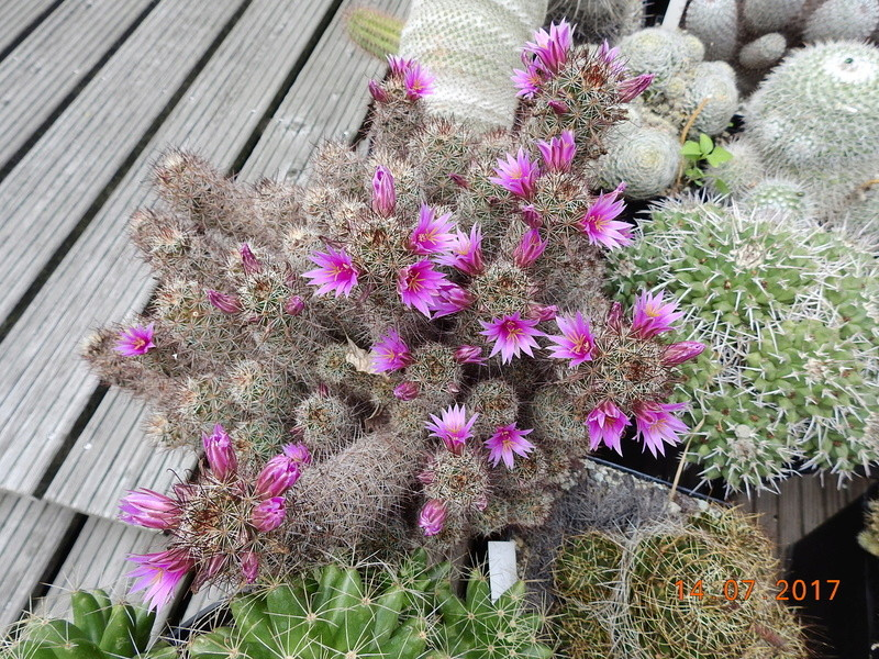 Cacti and Sukkulent in Köln, every day new flowers in the greenhouse Part 186 Bild1449
