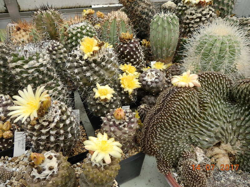 Cacti and Sukkulent in Köln, every day new flowers in the greenhouse Part 186 Bild1451