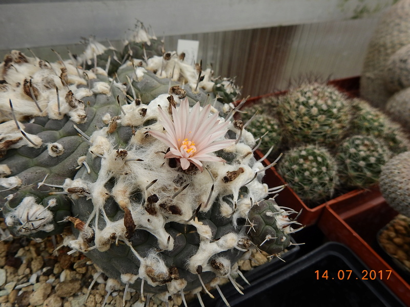Cacti and Sukkulent in Köln, every day new flowers in the greenhouse Part 186 Bild1455